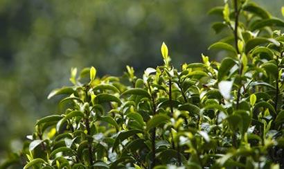 茶树风土民谚