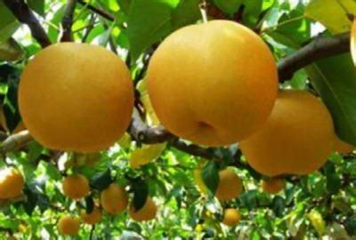 """梨:中国文化中最""""神圣""""的水果"""